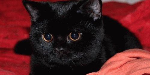 К чему сниться черная кошка с черным